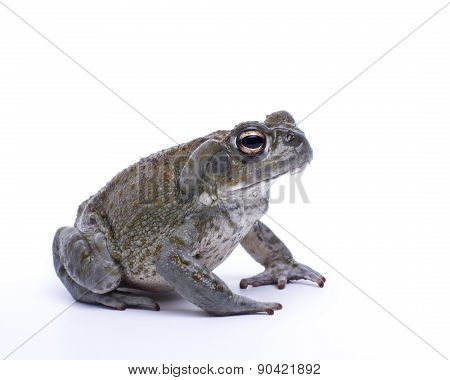 Sonoran Toad