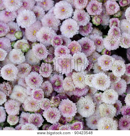 Aster Flower Background
