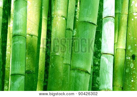 Big Green Bamboo grove bathed forest background