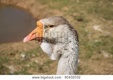 Portrait Of A Gray Goose Close Up