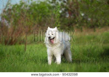 Portrait of Samoyed dog standing on green grass background