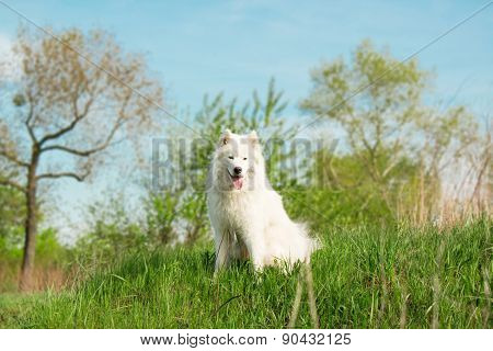 Portrait of Samoyed dog sitting on a natural background