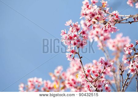 Close up branch with pink sakura blossoms