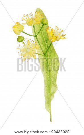 Linden blooming flowers