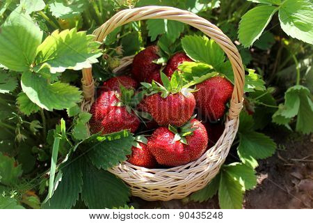 Fresh organic strawberries in basket