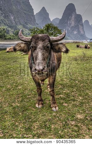 Herd Of Cattle Grazing On Pasture Li River, Guangxi, China.