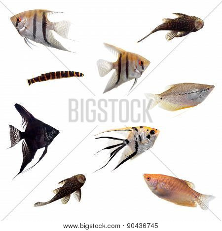 Group of decorative fishes on white
