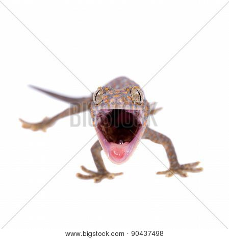 Tokay Gecko isolated on white background