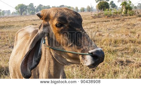 American Brahman Cow Cattle Closeup
