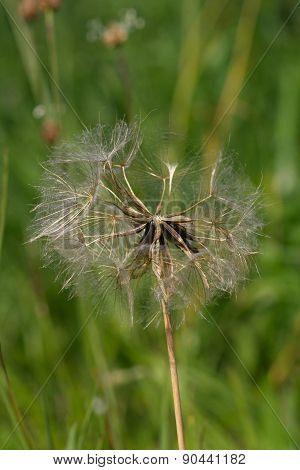 Dry Faded Dandelion
