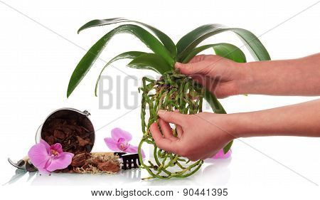 Hand with soil and orchid flowers