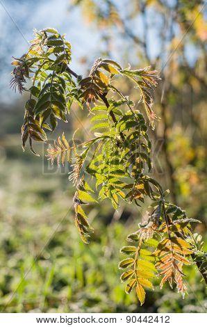 Branch Of Fresh Rowan Tree Leafes In Morning Sun