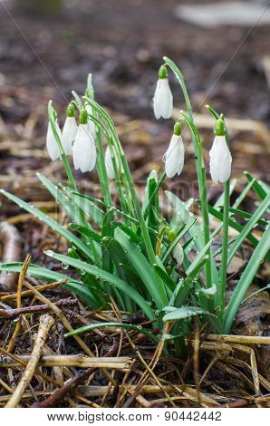 Fresh Natural Snowdrops After Rain
