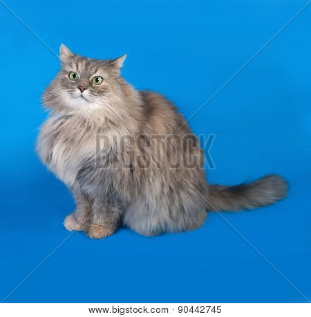 Tricolor Fluffy Cat Sitting On Blue