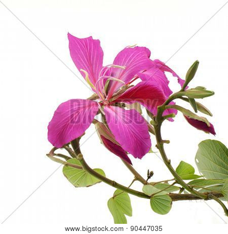 Tropical pink flower with bud isolated on white background