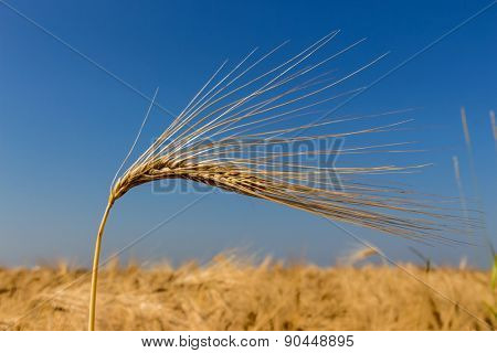 a cornfield with barley awaiting harvest. symbolic photo for agriculture and healthy eating.