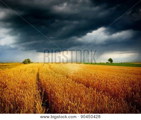 wheat field and blue sky with storm clouds