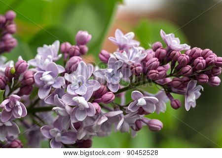 Green branch with spring lilac flowers in garden