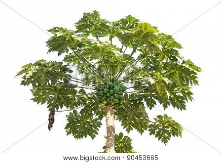 Fresh papaya tree  with bunch of fruits  isolated on white