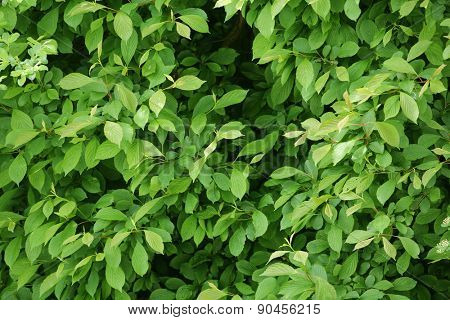 green leaves. background.