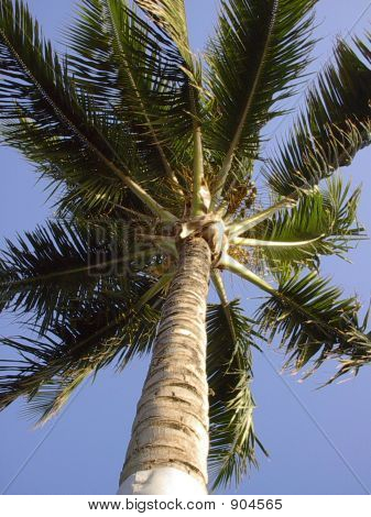 Hawaiianpalm