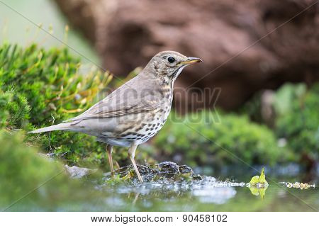 Mistle Thrush at the ground in nature