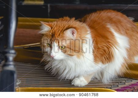Red Cat On Piano Strings
