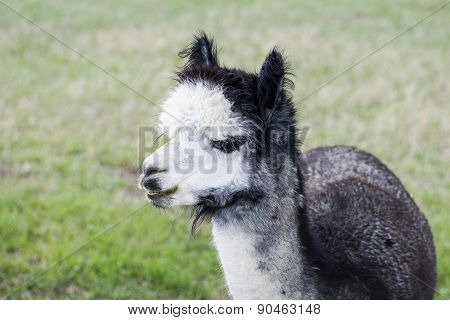 Rose Gray Alpaca