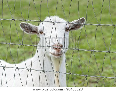 White Country Goat