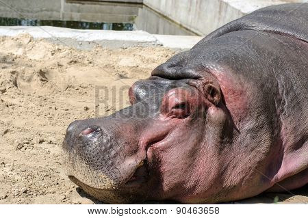 Hippopotamus Lying On The Sand At The Zoo