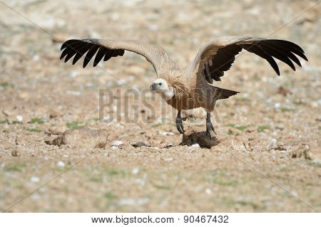 Griffon vulture on ground
