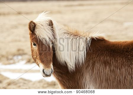 Icelandic Horse With Blone Mane On A Meadow