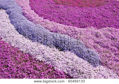 Poster Of Purple Pink Carpet Phlox Subulata Creeping Moss Or Mountain Flo