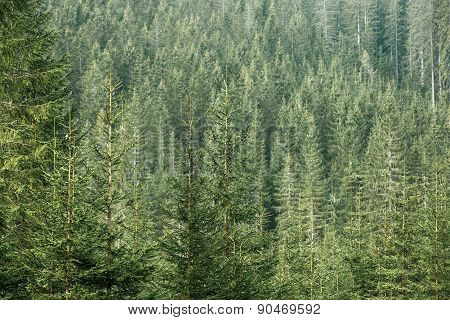 Green Coniferous Forest With Old Spruce, Fir And Pine Trees