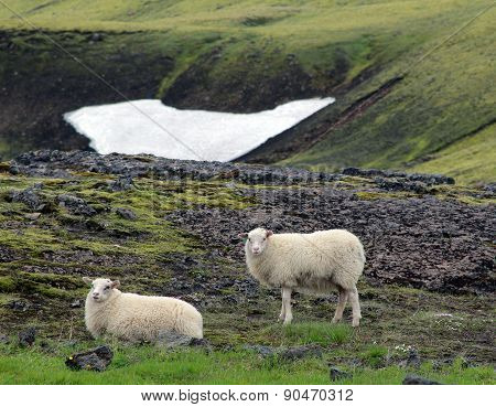 Lambs graze in the valley. Iceland