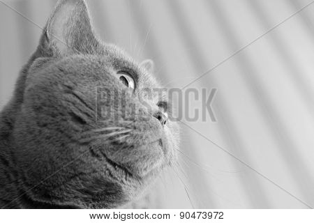 Portrait Of British Gray Cat