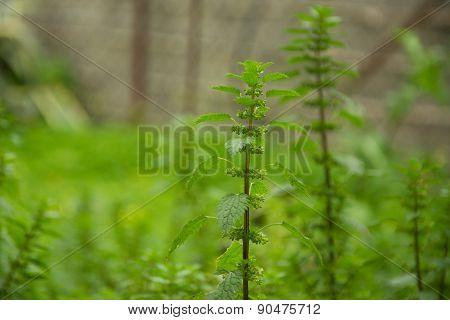 Nettle In The Meadow