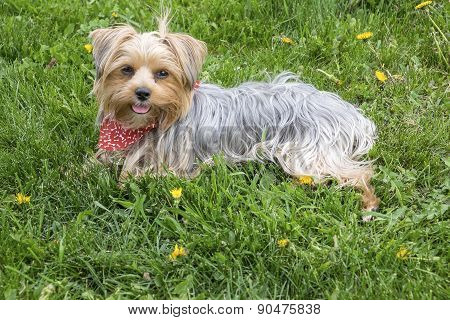 A Female Yorkie Sitting on Grass in the Spring