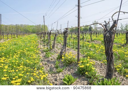 Vineyard in the Spring