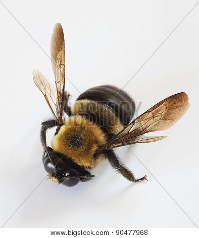 Approaching Bee