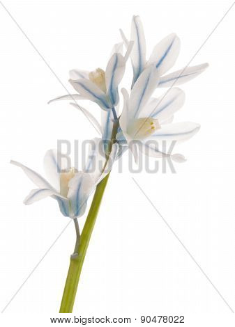 White Blue Delicate Flower