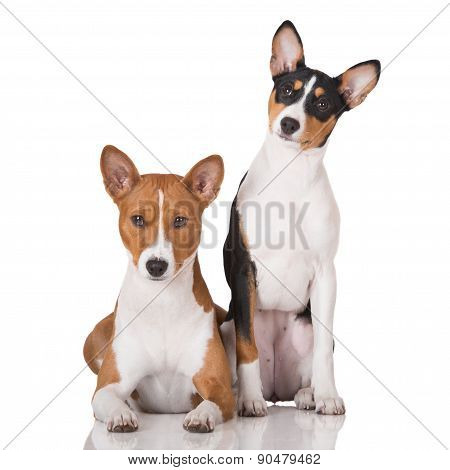 two basenji dogs on white