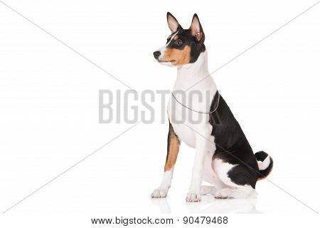 tricolor basenji puppy on white