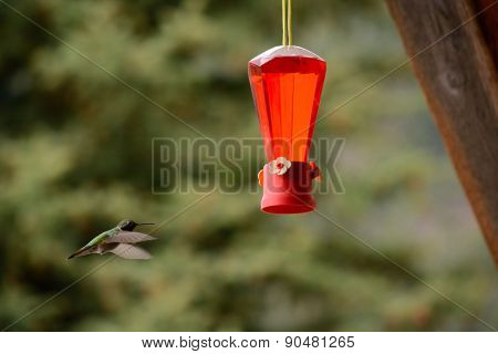 Hummingbird Flies Towards Feeder