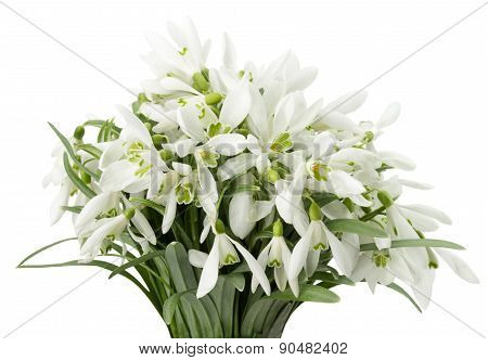 Snowdrop Bouquet Isolated On A White Background