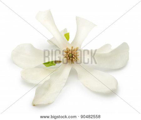 Magnolia Flower Isolated On A White Background