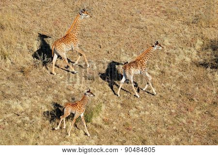 Aerial view of running giraffes (Giraffa camelopardalis), South Africa