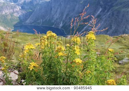 Hypericum on the mountains. Norway.