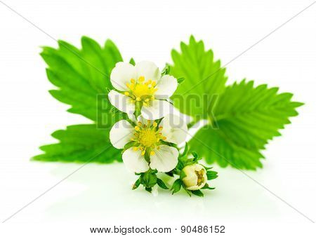 Strawberry's Leaf And Blossom