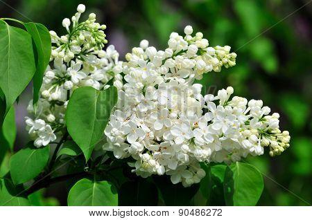 Blooming lilacs. Lilac.Syringa.